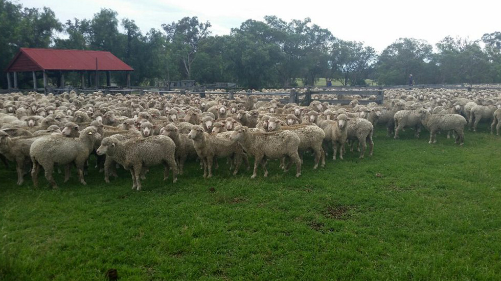Large flock of sheep disappears from rural Queensland paddock