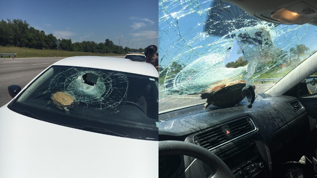 Turtle survives crash into car windscreen in the US