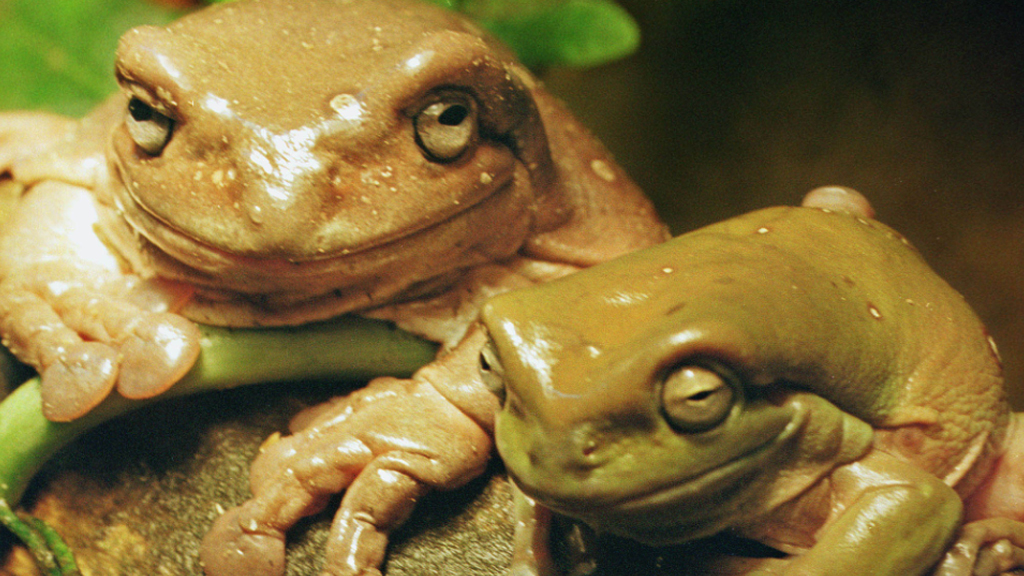 Pet green tree frogs in Russia. (AAP file image)