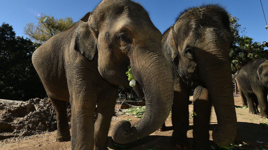 Melbourne zoo elephant calf born with congenital condition shows signs of improvement
