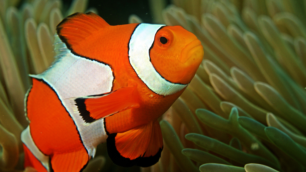 The hollywood treatment is killing the real life dory and nemo for Clown fish nemo