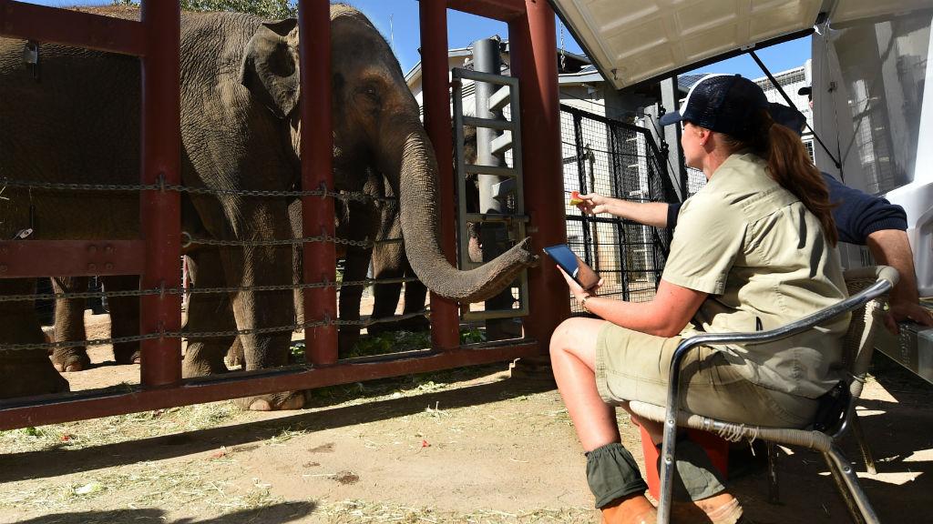 Melbourne Zoo elephant calf still 'critical'
