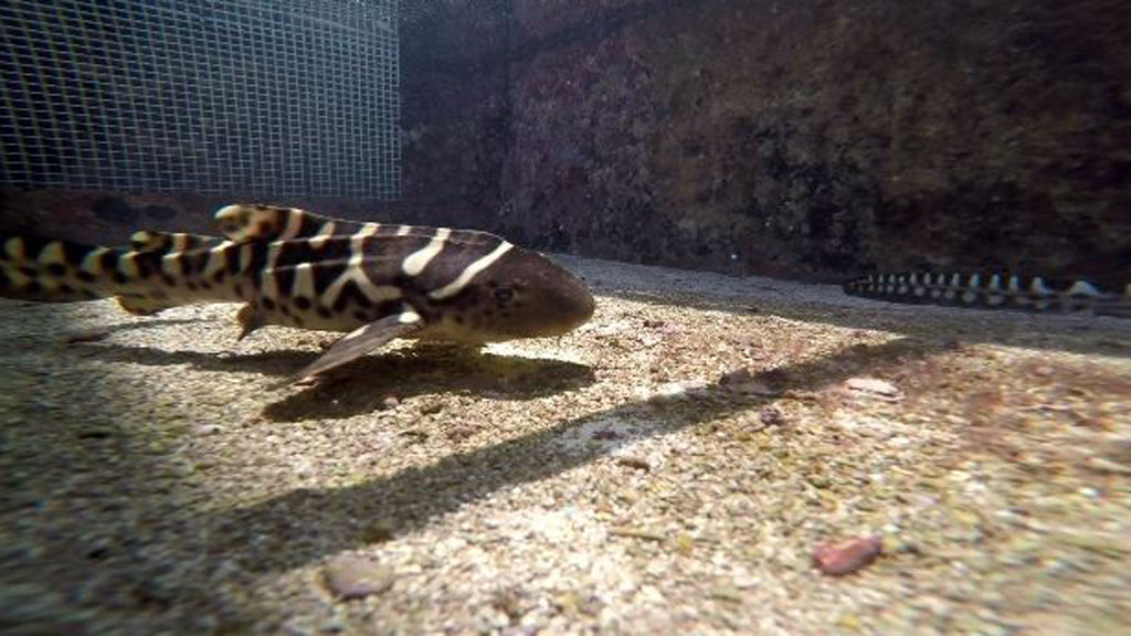 Shark born by 'virgin birth' stuns Queensland researchers
