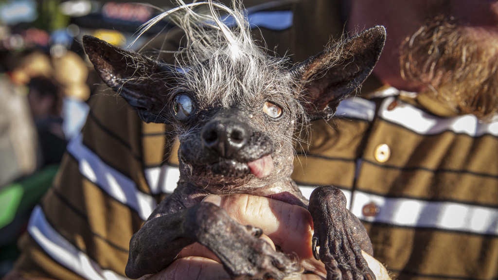 <p>A blind, 17-year-old Chihuahua named Sweepee Rambo has claimed the title of the world's ugliest dog. </p> <p>Awarded at Sonoma Marin Fair in California, the title comes with a US$1500 prize and a trophy.</p> <p>Sweepee beat 16 other pups for the award, which is judged on personality and appearance.</p> <p>Click through to see some of the other entries.</p>