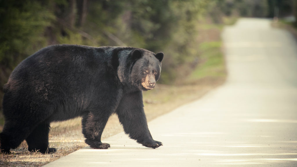 Man attacked by a bear while sleeping at a Californian campground
