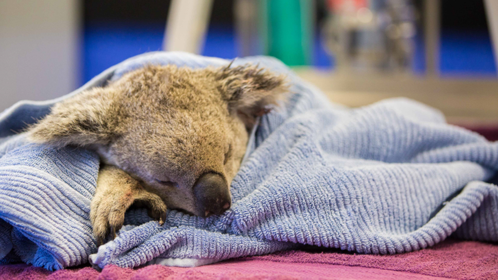 'Such a waste': RSPCA urges dog owners to prevent attacks on koalas after fatal mauling