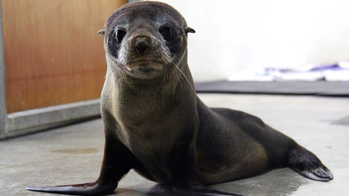 Seal back at sea after Sydney storm injury