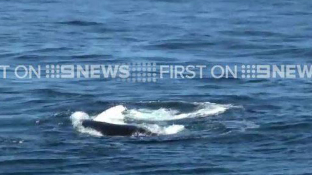 Whale cut free from shark netting off Gold Coast