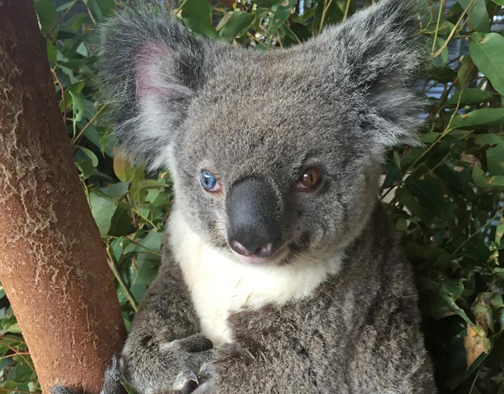 Bowie the koala. (AAP)