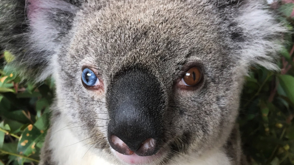 Rare koala with different-coloured eyes rescued north of Brisbane