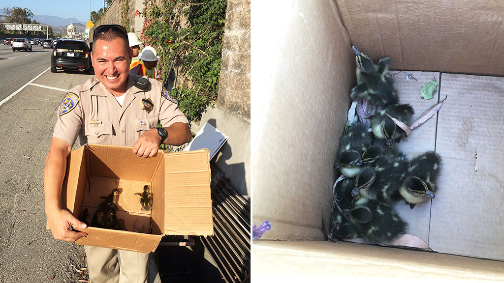 A California Highway Patrol representative with a box of rescued ducklings. (Twitter/@CHPsouthern)