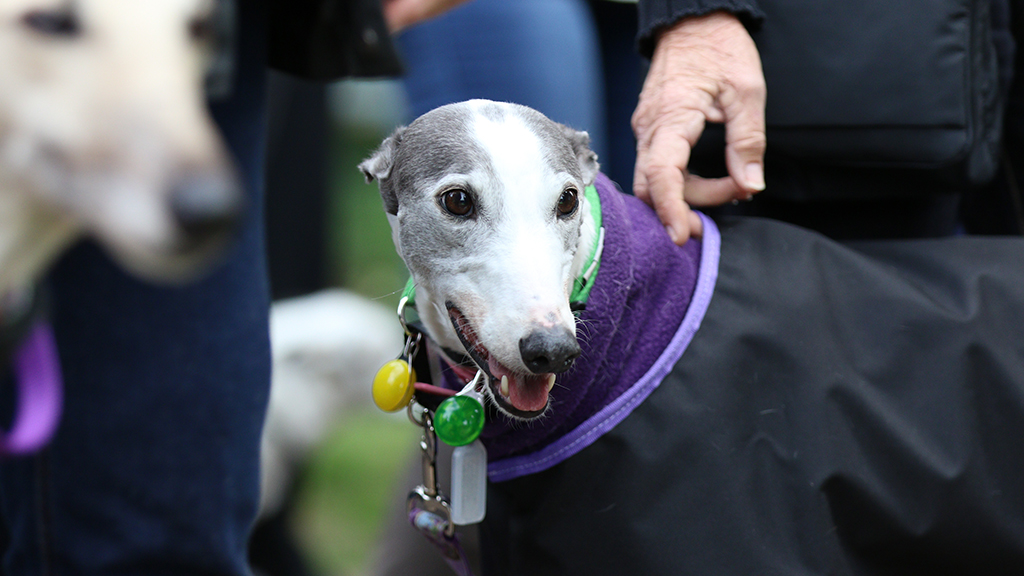 No greyhounds will be allowed to be transferred to other states before the ban without express permission from Greyhound Racing NSW. (AAP)