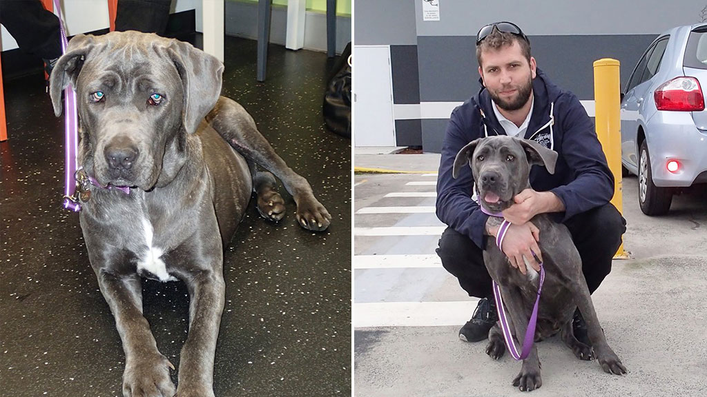 'Peg-legged' dog saved by Sydney volunteers finds forever home