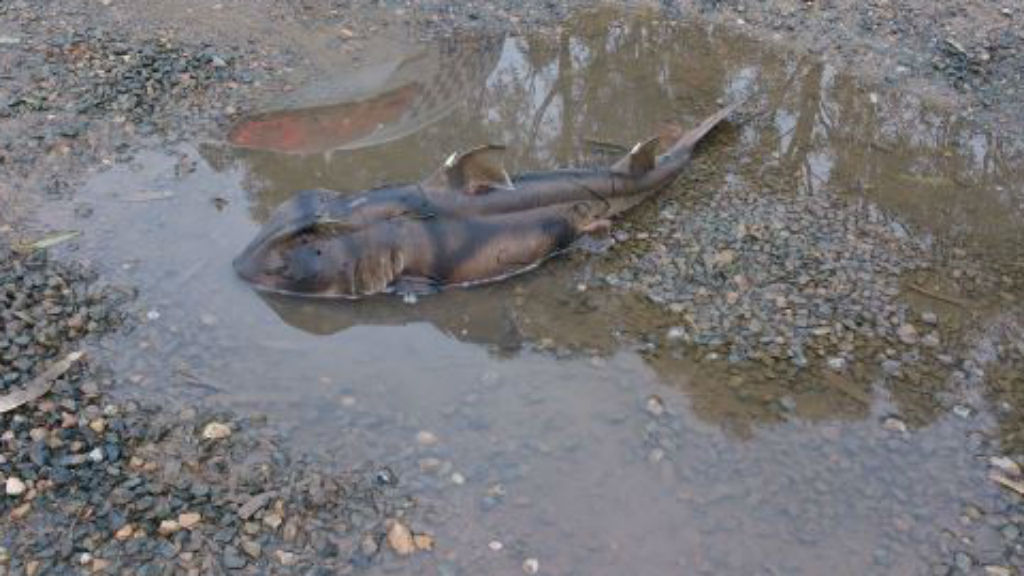 Shark dies after being found in roadside puddle in outskirts of Adelaide