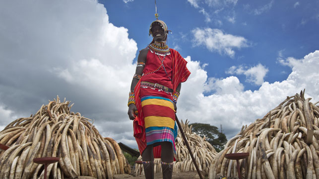 A Maasai man in ceremonial dress poses for visitors to take photographs of him in front of one of around a dozen pyres of ivory, in Nairobi National Park, Kenya. (AAP)