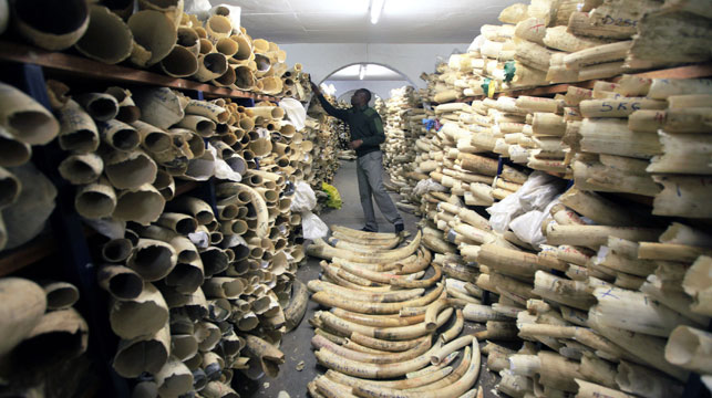 Zimbabwe National Parks official inspects the stock during a tour of the country's ivory stockpile at the Zimbabwe National Parks Headquarters in Harare. (AAP)
