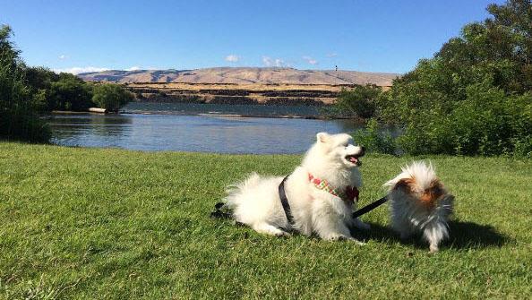 Pomeranian guides his best friend after eye surgery
