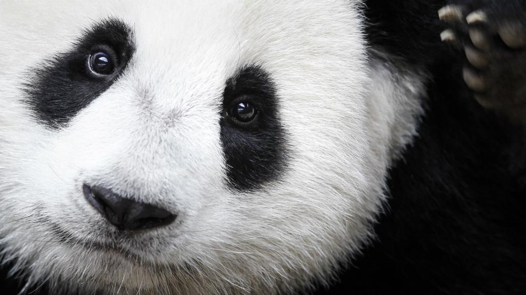 Survey finds giant pandas no longer 'endangered' in China
