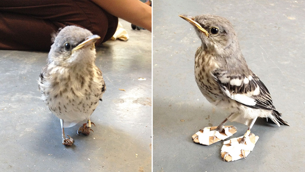 Bird given tiny 'snowshoes' to help heal its injured feet