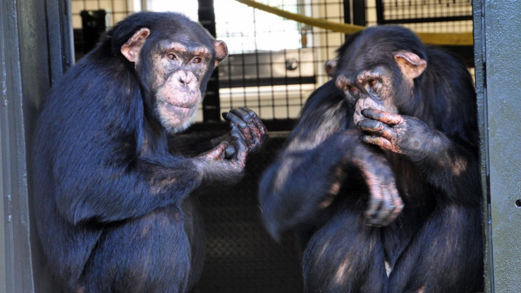 Hundreds of chimps to be relocated from US research labs to sanctuaries