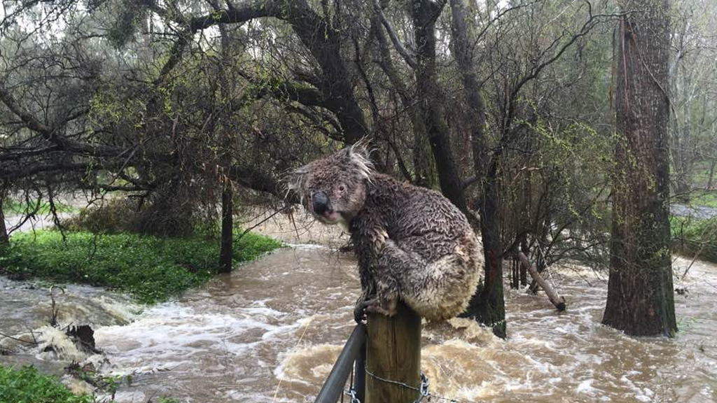 A koala perched above the floodwaters in Piccadilly, south-east of Adelaide. (Facebook)