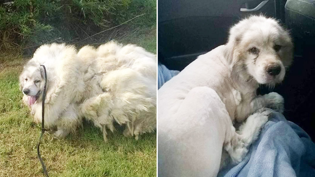 Neglected dog sheds 16kg of fur after receiving first trim in six years