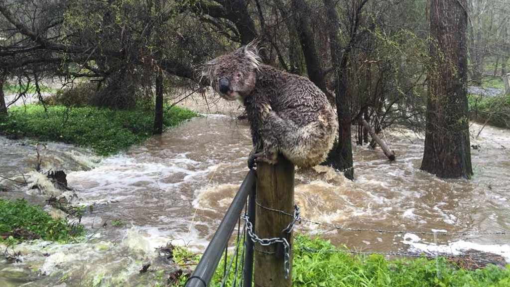 Man who photographed rain-drenched koala says marsupial made it to safety