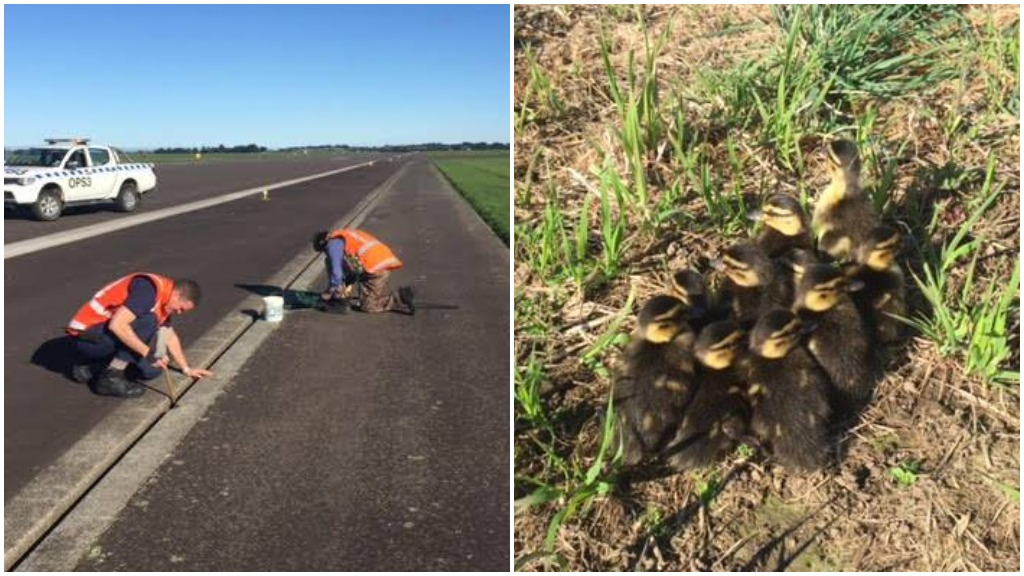 Ducklings rescued from runway by Royal NZ Air Force