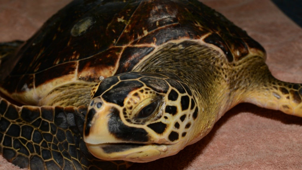 Rare hybrid turtle released on the Great Barrier Reef