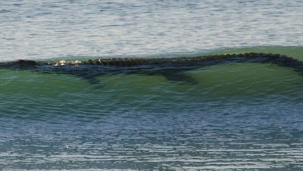 A crocodile previously sighted in the surf in Costa Rica.