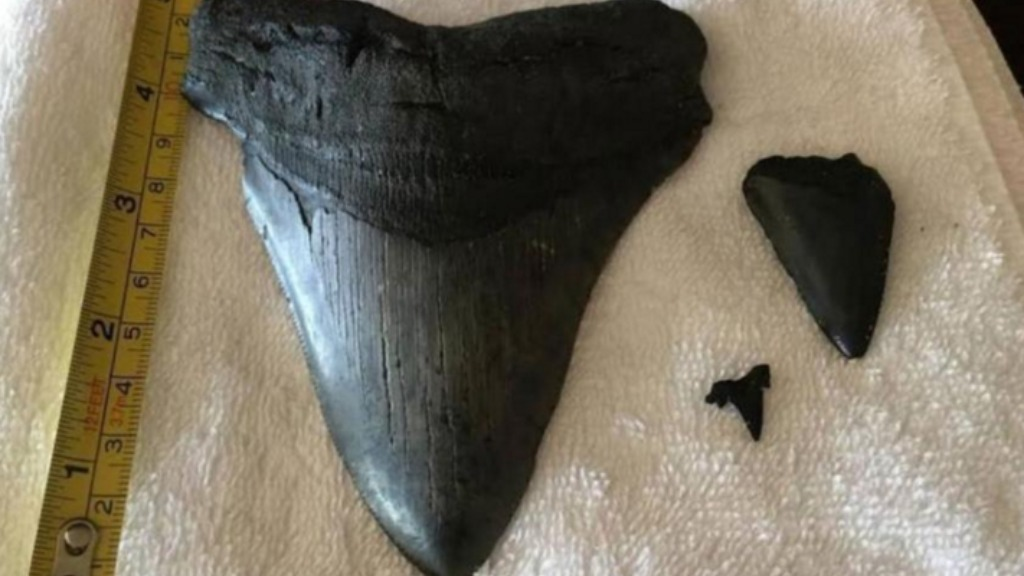 US couple find pre-historic shark tooth washed up by Hurricane Matthew