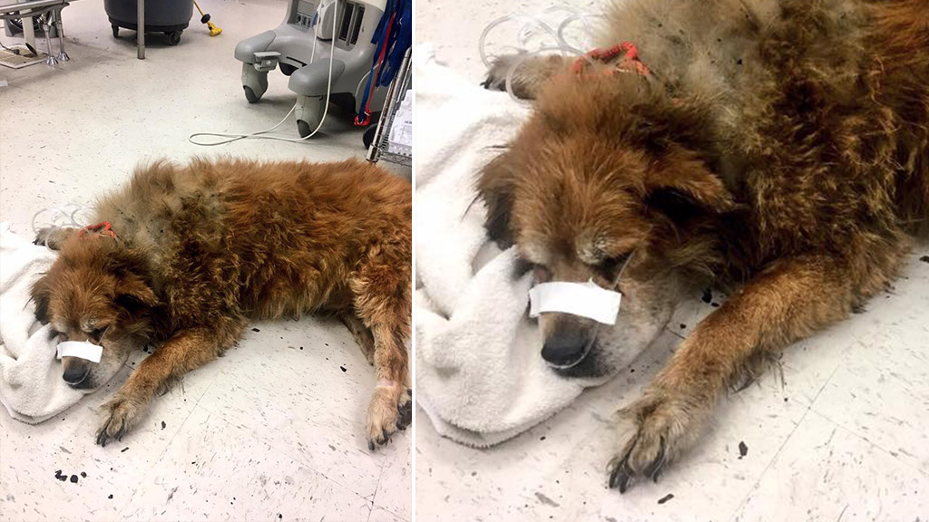 'Hero' dog found shielding unconscious owner from house fire
