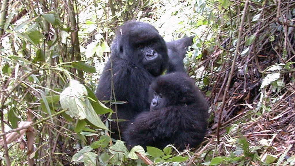 Gorillas are just one of the species under threat.