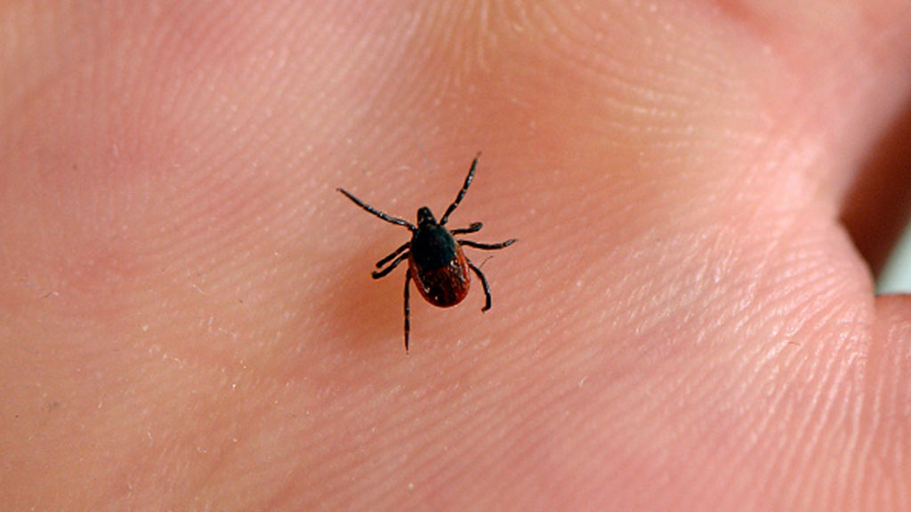 New report claims Lyme disease cannot be contracted in Australia