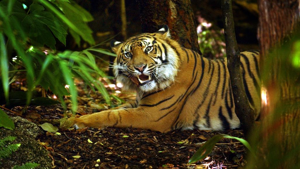 Binjai the tiger gets Melbourne Zoo vet check