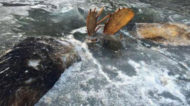 Two battling moose frozen in Alaskan lake