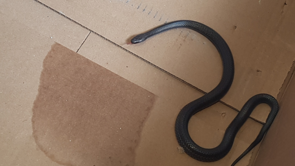 The snakes were later released back into bushland. (Queensland Police)