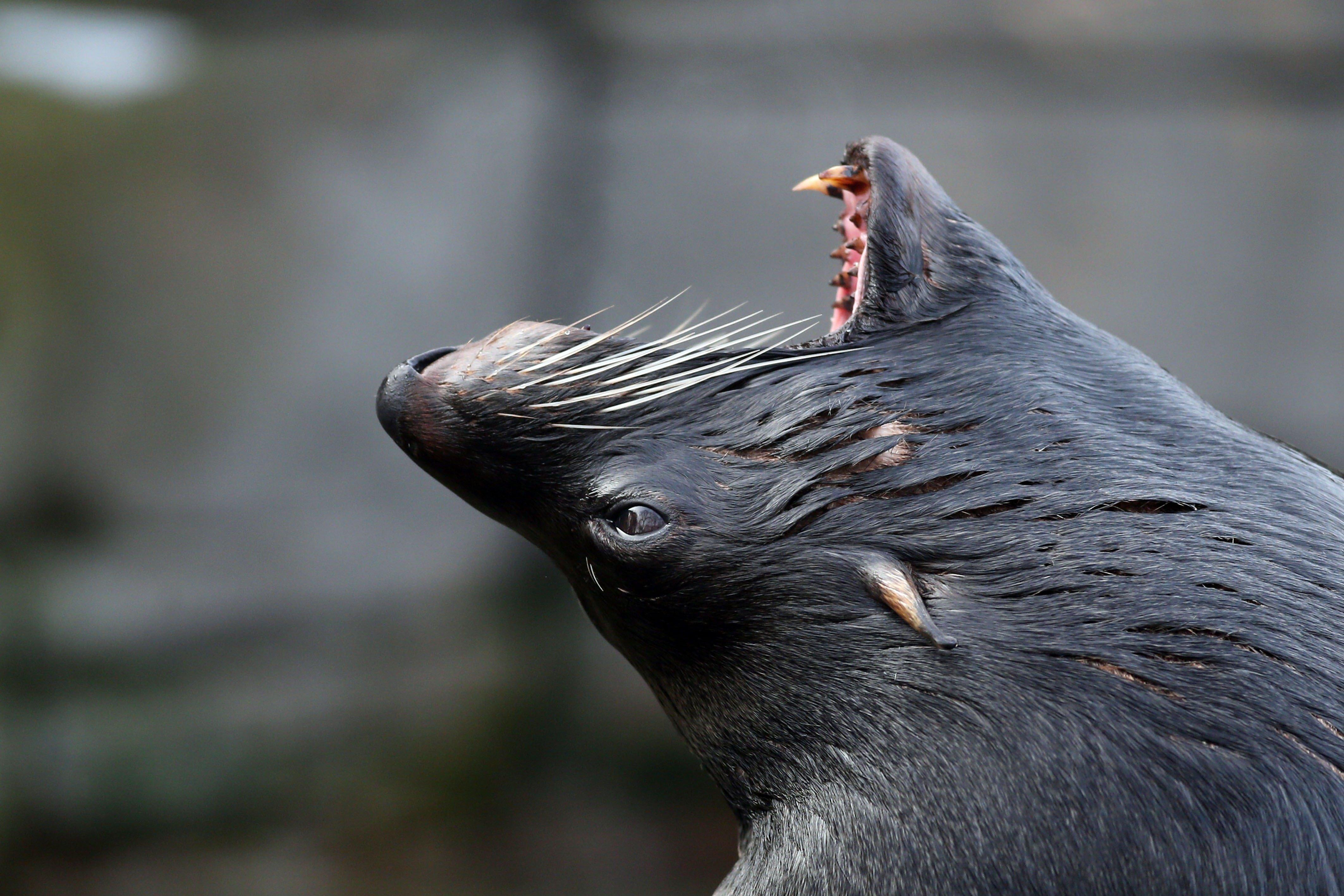 Sea lion's sneak 'attack' filmed by diver | 9Pickle