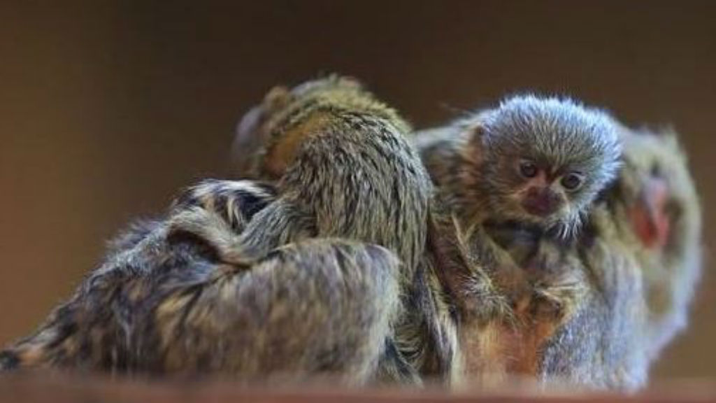 One of three rare monkeys stolen from a Sydney wildlife park has been found. (Image: NSW Police)