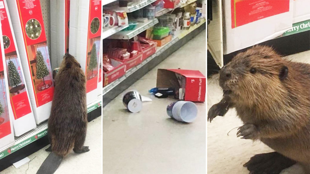 Beaver goes on rampage after finding fake Christmas trees in store