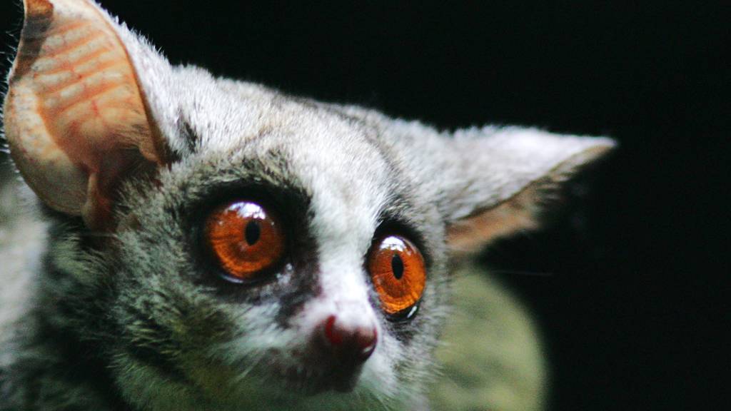 The high-jumping abilities of the galago, or bush baby, inspired the robot. (AAP)