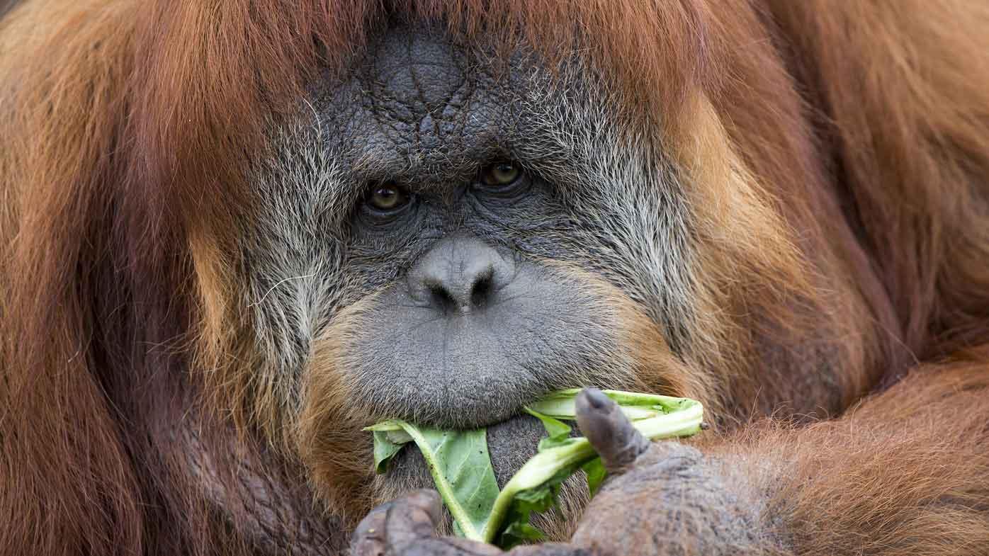 Orangutan on the pill falls pregnant in SA