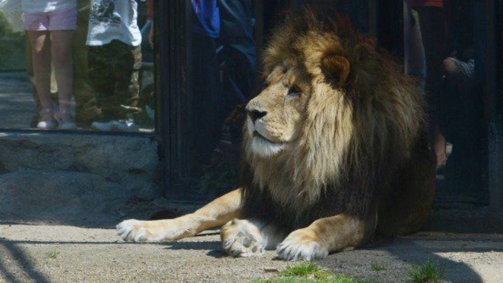 Sick lion euthanised at Melbourne Zoo