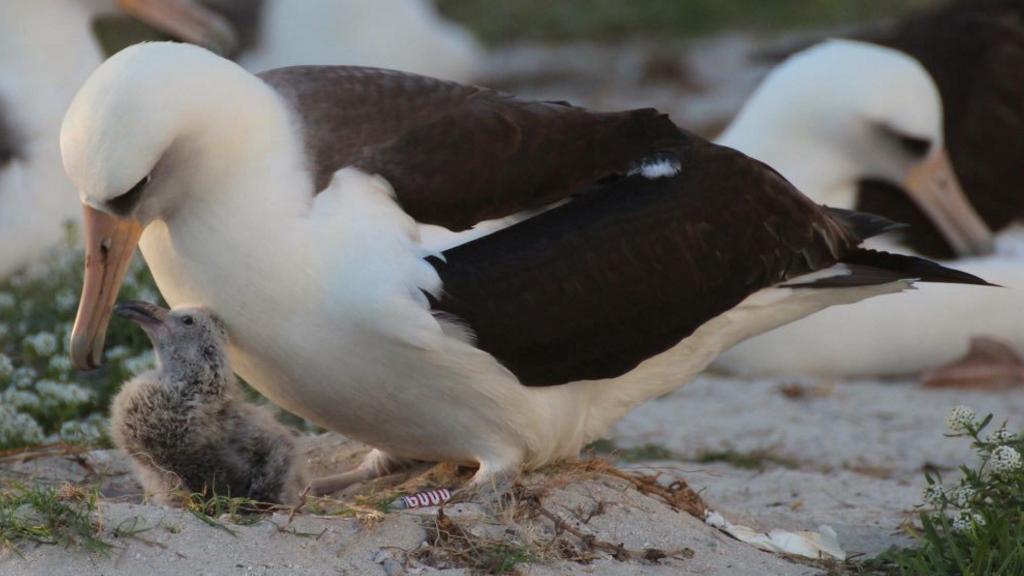 World's oldest seabird expecting again