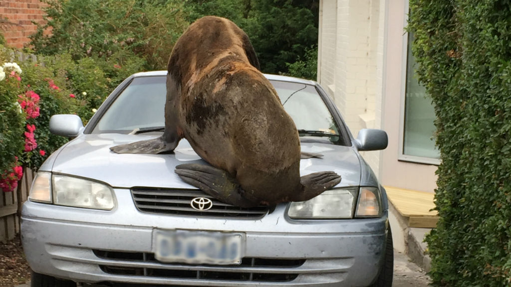 Rogue seal in suburban Tassie to be freed