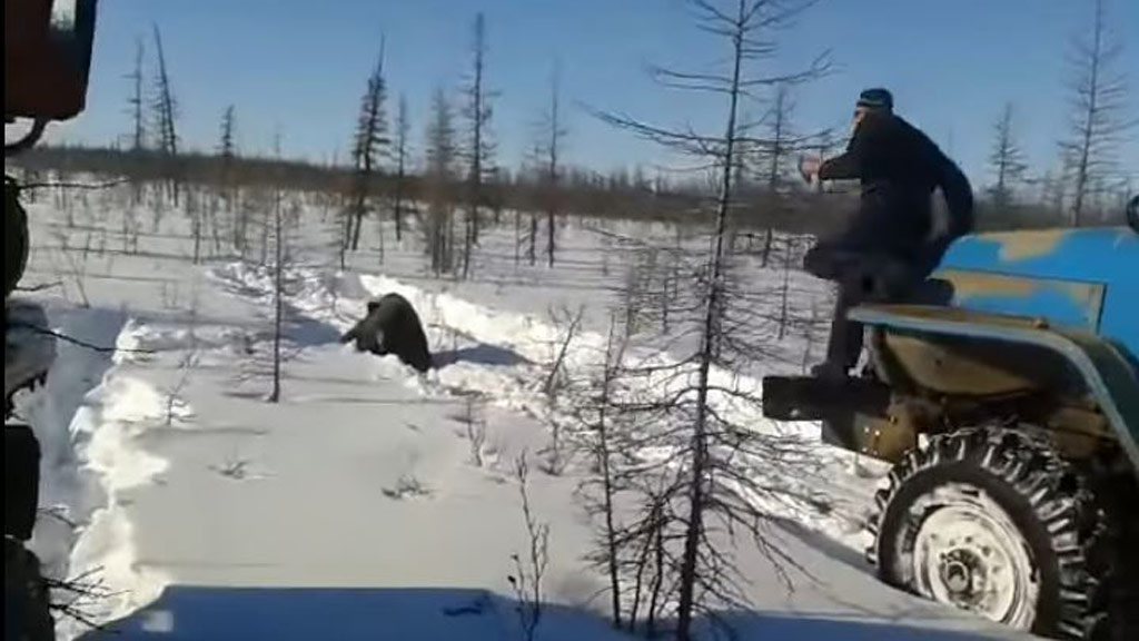 The video shows two trucks driving over the brown bear. (YouTube)