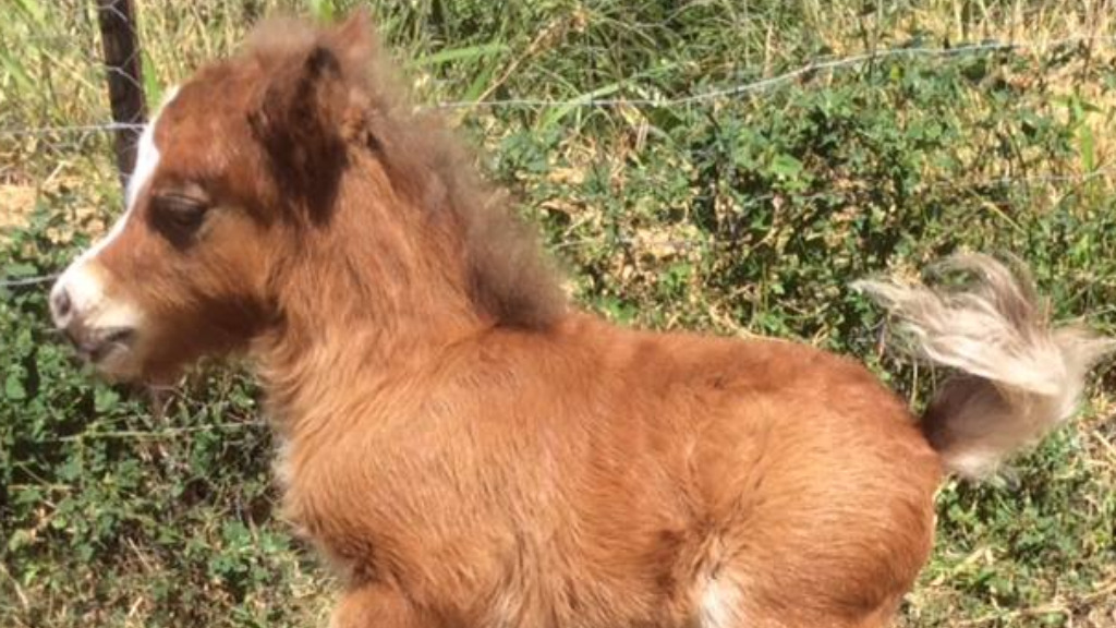 Carcass of stolen miniature pony dumped at owner's home in Queensland