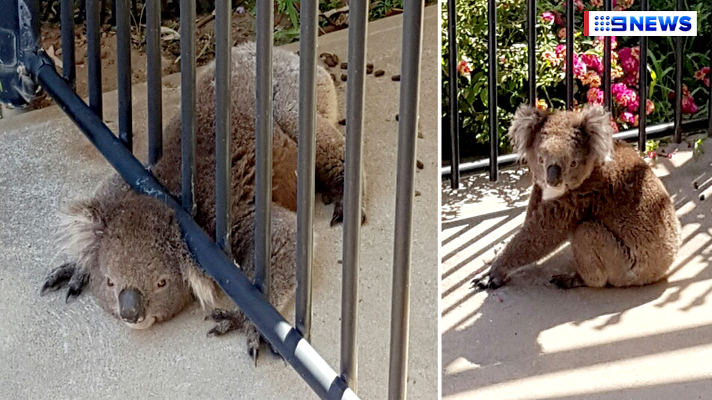 Family free koala trapped under backyard fence