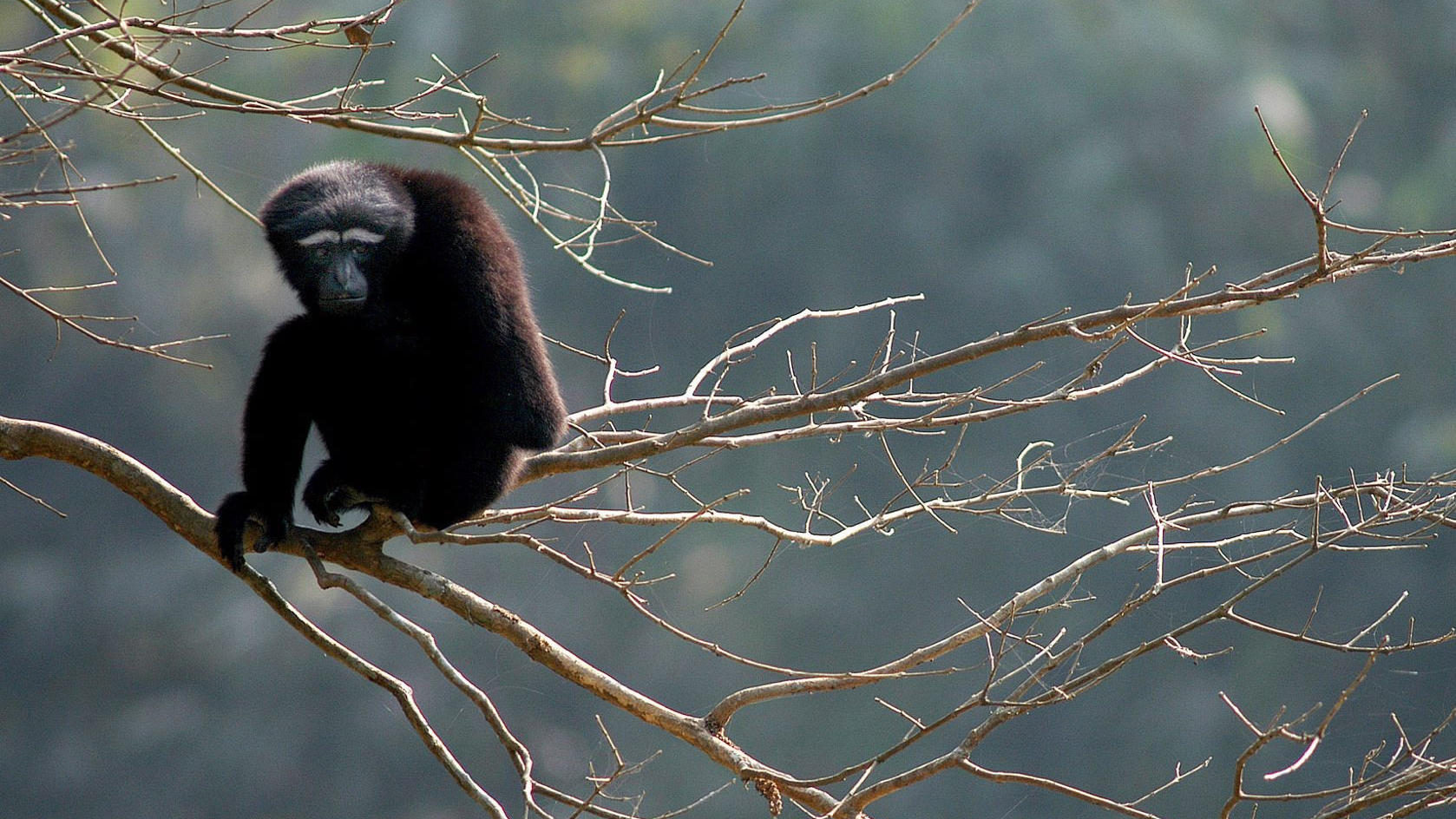New species of gibbons named after a Star Wars character