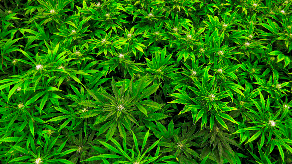 Terminally ill Australians will get faster access to medicinal cannabis. (File)